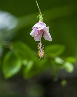 Selektywne fokus strzał różowy kwiat gumamela
