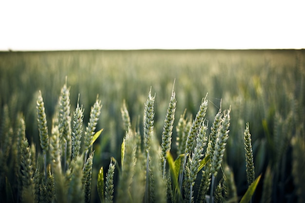 Selektywne fokus strzał trawy w polu - idealne do tła