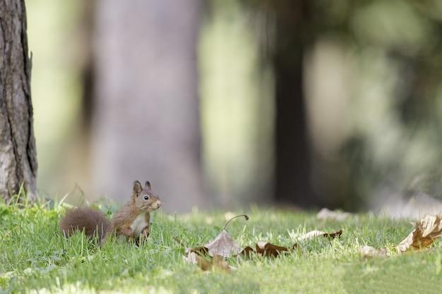 Selektywne fokus strzał wiewiórki w lesie