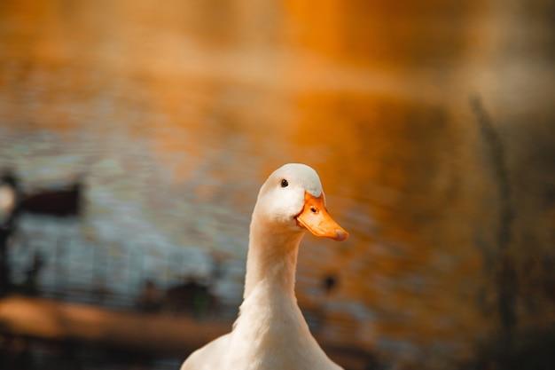 Selektywne fokus strzał z białej gęsi stojącej na brzegu jeziora z zmieszanymi oczami