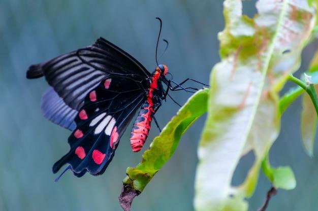Selektywne fokus strzał z czarnego papilio na zielonych roślin