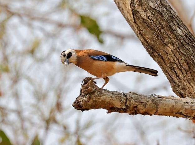 Selektywne fokus strzał z eurasian jay stojących na gałęzi drzewa