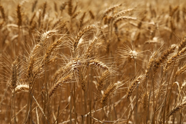 Selektywne fokus strzał złote kłosy pszenicy w polu