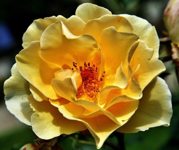 Selektywne fokus strzał żółtej róży floribunda w ogrodzie w diepenheim w holandii