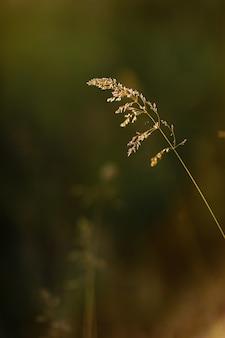 Selektywne nieostrość suchej trawy, trzciny, łodygi wiejące na wietrze w złotym świetle słońca, poziome, niewyraźne wzgórza na tle, kopia przestrzeń. natura, lato, koncepcja trawy.