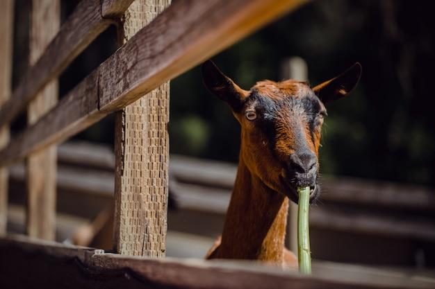 Selektywne skupienie brązowej kozy