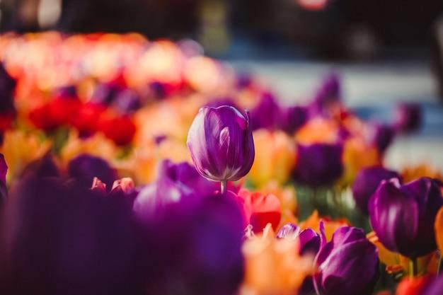 Selektywne skupienie kwiatu tulipana