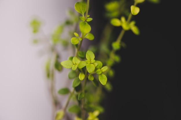 Selektywne skupienie małego rosnącego tymianku cytrynowego pod światłami