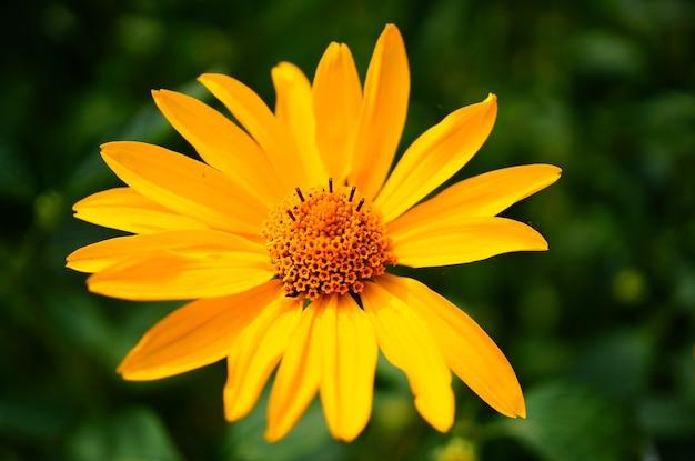 Selektywne skupienie pięknego fałszywego słonecznika