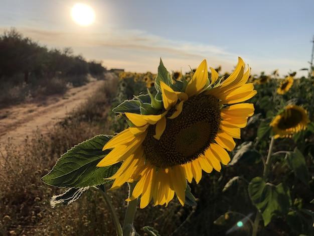Selektywne skupienie pięknego słonecznika lśniącego pod promieniami słońca