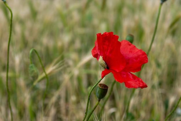Selektywne skupienie pięknego wspólnego czerwonego kwiatu maku