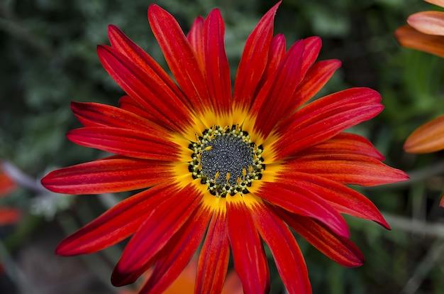 Selektywne skupienie pięknej czerwonej stokrotki z żółtym środkiem otoczonej liśćmi