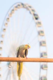 Selektywne skupienie ptak nimfa nymphicus hollandicus na drewnianym stojaku