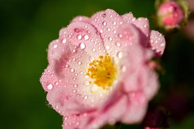 Selektywne skupienie różowego kwiatu z kilkoma kroplami na płatkach