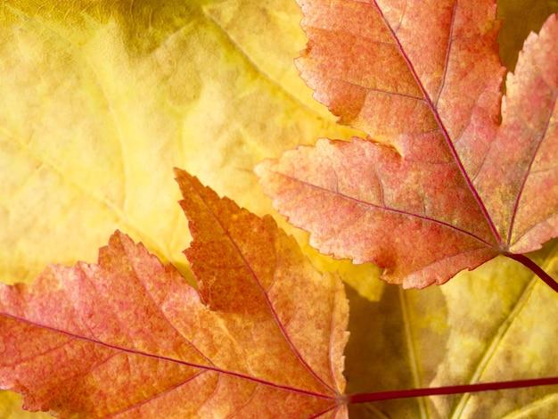 Selektywne skupienie się na czerwonych i żółtych liściach klonu jesienne tło płaskie lay