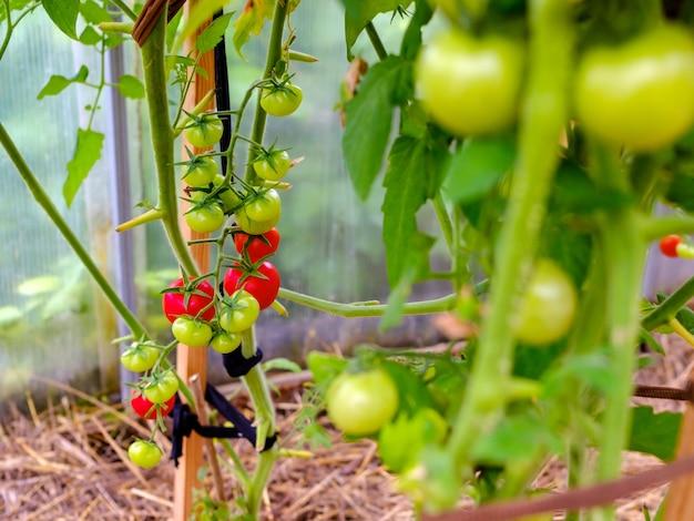 Selektywne skupienie się na dojrzałych czerwonych pomidorach na gałęziach w szklarni