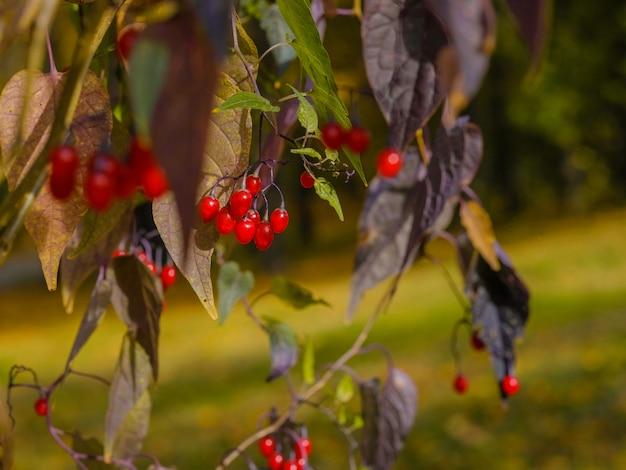 Selektywne skupienie się na jaskrawoczerwonych jagodach na gałęziach w słoneczny jesienny dzień