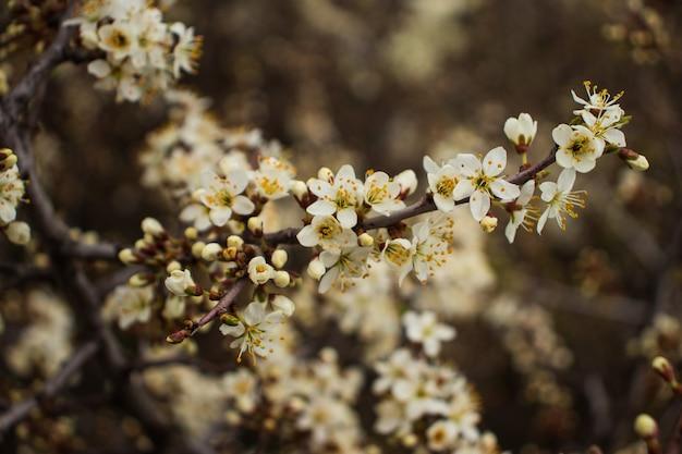 Selektywne skupienie się na pięknych kwiatach śliwki wiśni i jabłoni oraz drzew owocowych fruit