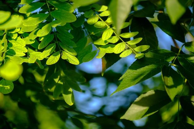 Selektywne skupienie się na soczystych zielonych liściach akacji miejsca kopiowania