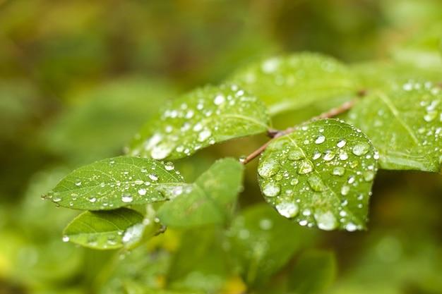 Selektywne skupienie się na zielonych liściach pokrytych kroplami rosy