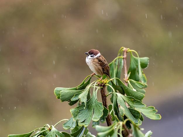 Selektywne skupienie strzał wróbla zwyczajnego na drzewie miłorzębu w deszczu