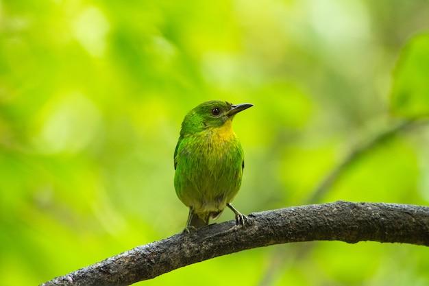 Selektywne skupienie strzału zielonego miodożera siedzącego na gałęzi