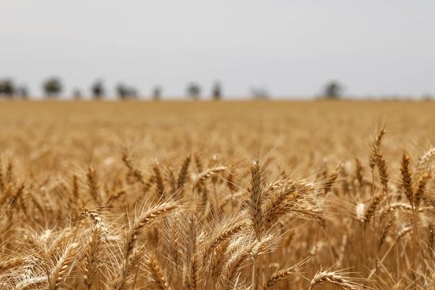 Selektywne skupienie strzału złotych kłosów pszenicy na polu