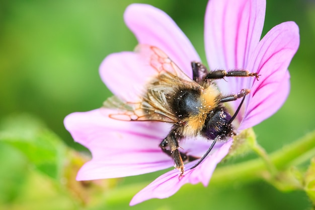 Selektywne skupienie ujęcia pszczoły zbierającej pyłek na fioletowym kwiecie