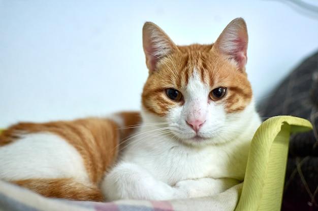 Selektywne ujęcie kota domowego odpoczywającego w swoim wygodnym łóżku