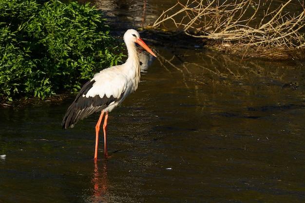 Selektywne ujęcie ostrości bociana białego (ciconia ciconia) w rzece w słoneczny dzień