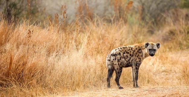 Selektywne ujęcie ostrości cętkowanej hieny w lesie
