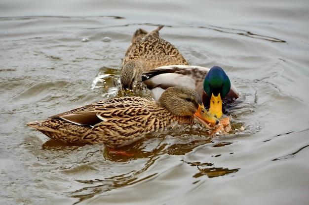 Selektywne ujęcie ostrości dzikich kaczek krzyżówek walczących o jedzenie w wodzie