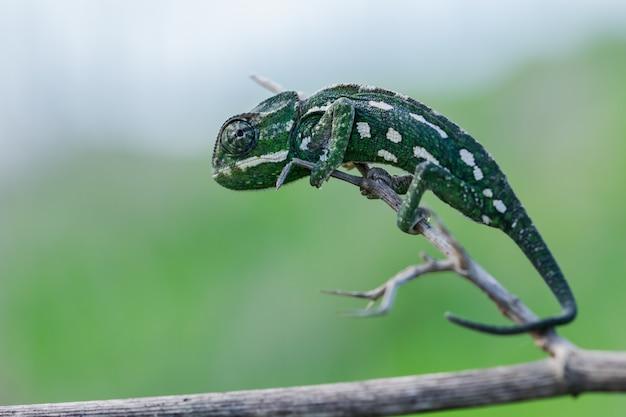 Selektywne ujęcie ostrości kameleona śródziemnomorskiego chodzącego po gałązce kopru włoskiego