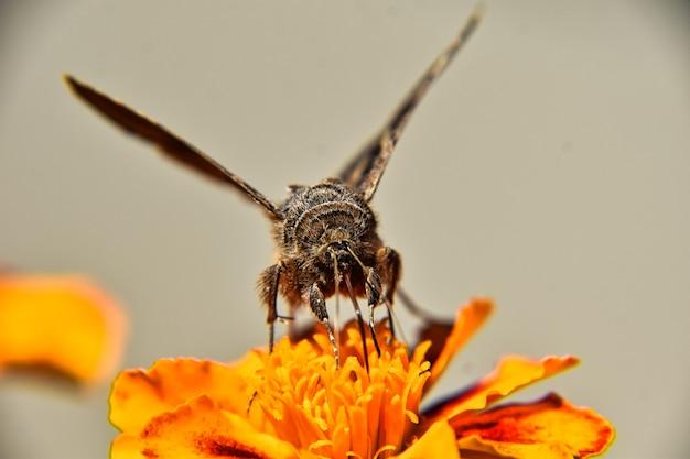 Selektywne ujęcie ostrości motyla na pięknym żółtym kwiecie