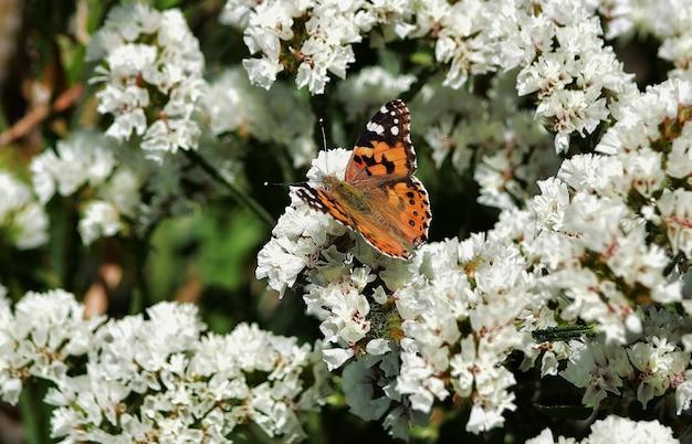 Selektywne ujęcie ostrości motyla vanessa cardui zbierającego pyłek na kwiatach statice