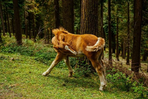 Selektywne ujęcie ostrości niesamowitego brązowego konia w lesie w kraju basków, hiszpania