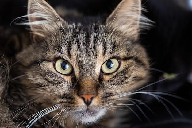 Selektywne ujęcie ostrości pasiastego kota domowego patrzącego bezpośrednio