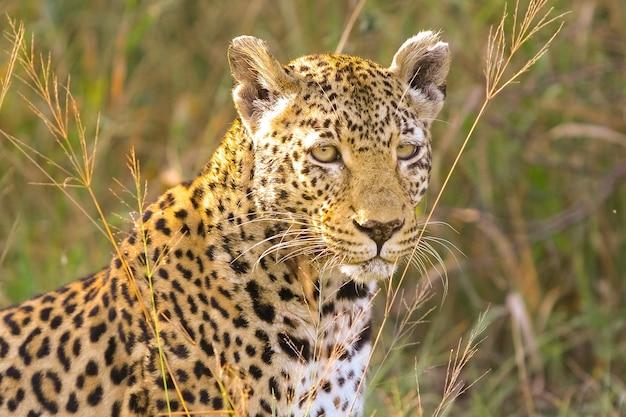 Selektywne ujęcie ostrości pięknego geparda stojącego wśród trawy