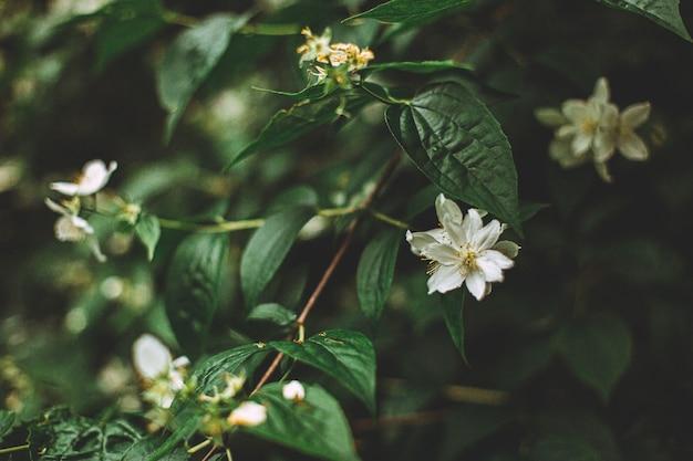 Selektywne ujęcie ostrości pięknych i małych białych kwiatów na krzaku w środku lasu