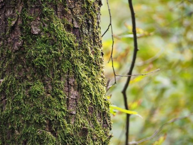 Selektywne ujęcie ostrości pnia drzewa pokrytego mchem na rozmytym