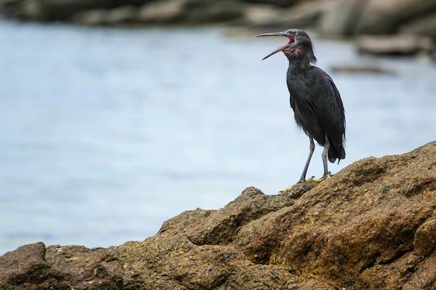 Selektywne ujęcie ostrości ptaka czapli lawowej siedzącej w pobliżu morza