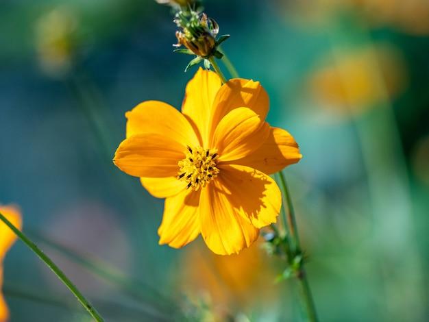 Selektywne ujęcie ostrości rozkwitłego pojedynczego żółtego kwiatu na polu
