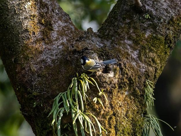 Selektywne ujęcie ostrości sikorki japońskiej spoczywającej na drzewie w lesie izumi w yamato