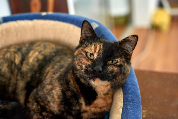 Selektywne ujęcie ostrości szylkretowego kota relaksującego się w swoim wygodnym łóżku