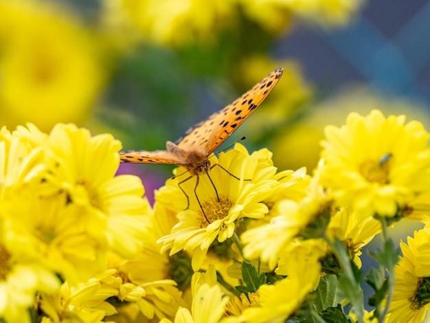 Selektywne ujęcie ostrości tropikalnej fritillary, argynnis hyperbius na żółtych kwiatach