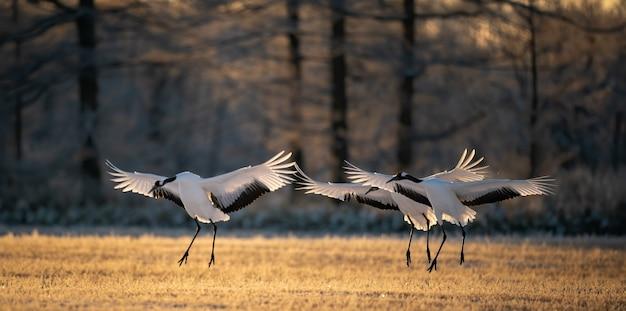 Selektywne ujęcie ostrości trzech żurawi koronowanych na czerwono trzepoczących skrzydłami w parku narodowym kushiro