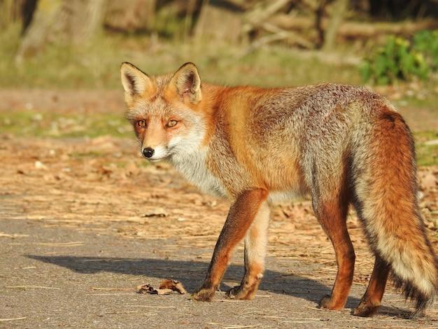 Selektywne ujęcie ostrości uroczego rudego lisa w holandii