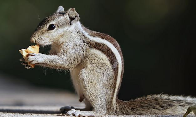 Selektywne ujęcie ostrości uroczej szarej wiewiórki, na zewnątrz w świetle dziennym