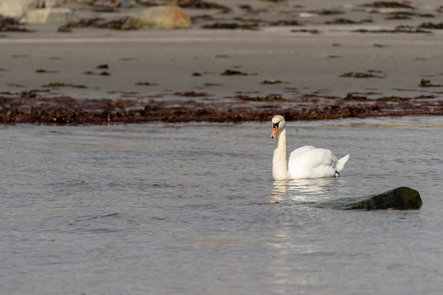 Selektywne ujęcie ostrości wdzięcznego łabędzia unoszącego się na jeziorze