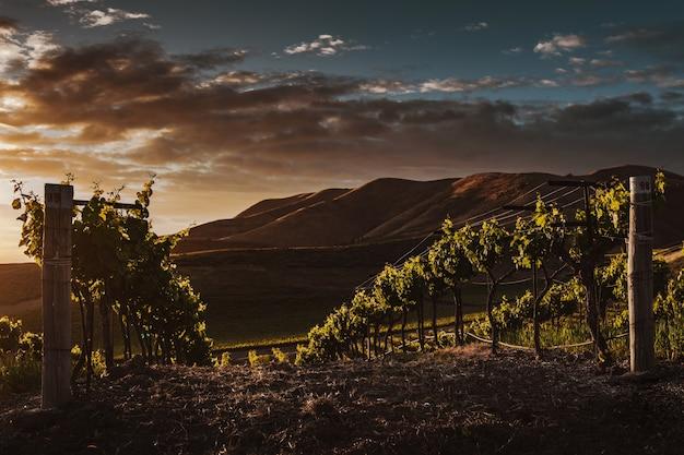 Selektywne ujęcie ostrości winorośli uchwyconych w pięknej winnicy o zmierzchu